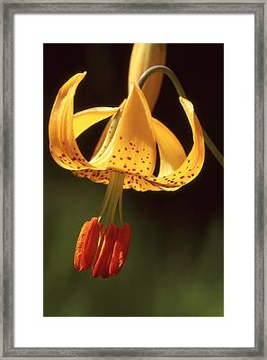 Wild Tiger Lily Framed Print