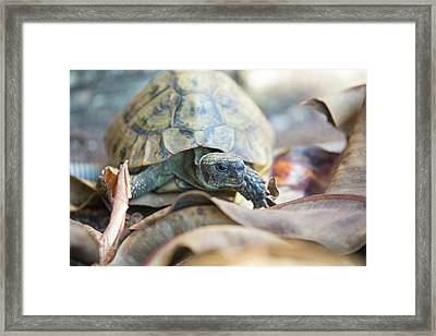 Wild Tortoises In A Garden In Sivota Framed Print by Ashley Cooper