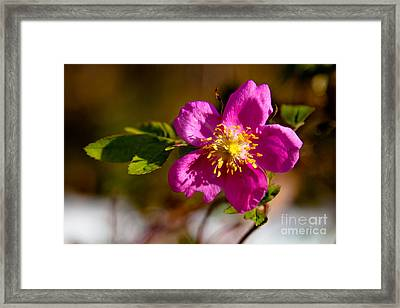 Wild Tundra Rose Framed Print