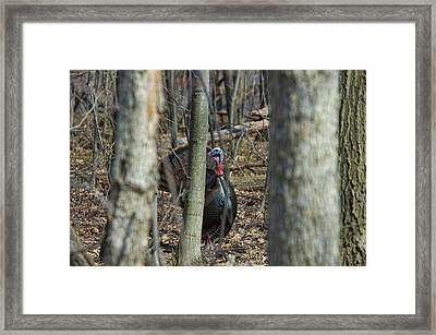 Wild Turkey 1 Framed Print