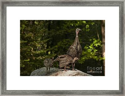 Wild Turkey And Chicks Framed Print