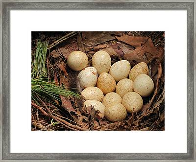 Wild Turkey Eggs In Nest Framed Print by Doug McPherson