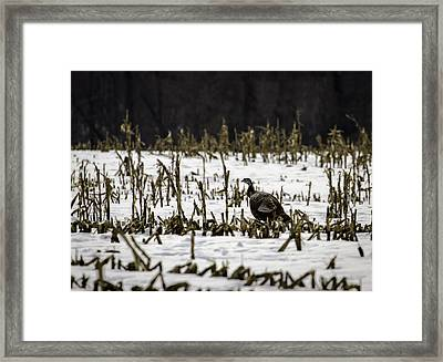 Wild Turkey In The Corn Framed Print by Thomas Young