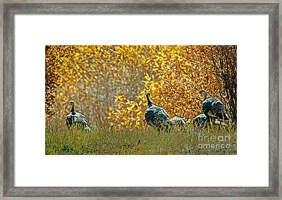 Wild Turkeys And Fall Colors Framed Print by Robert Bales
