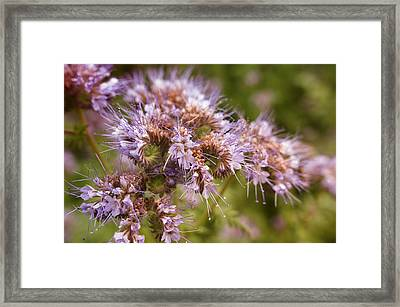 Wild Violet Framed Print by Miguel Winterpacht