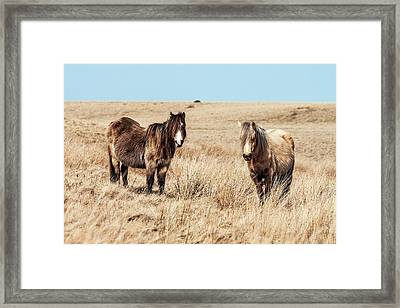 Wild Welsh Ponies Framed Print by Paul Williams