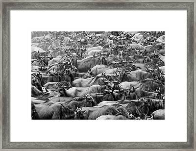 Wildbeests Framed Print