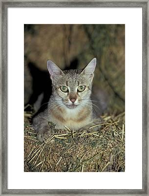 Wildcat (felis Silvestris) Framed Print