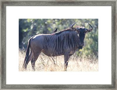 Wildebeast Framed Print by Craig Brown