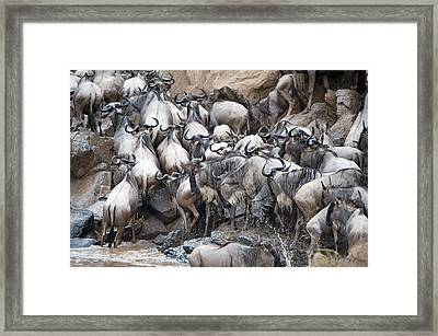 Wildebeests Crossing A River, Mara Framed Print by Panoramic Images