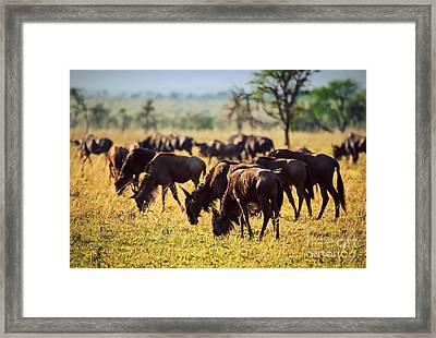 Wildebeests Herd. Gnu On African Savanna Framed Print by Michal Bednarek