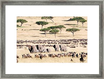 Wildebeests With African Elephants Framed Print by Panoramic Images