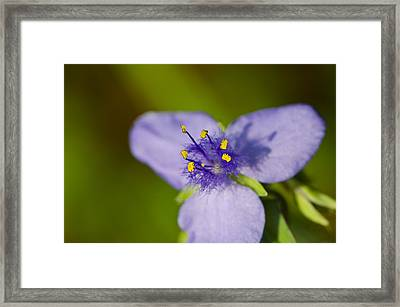 Wildflower 1 - Botanical Photography By Sharon Cummings Framed Print by Sharon Cummings