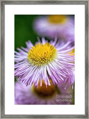 Wildflower - Fleabane - Robin's Plantain Framed Print by Henry Kowalski