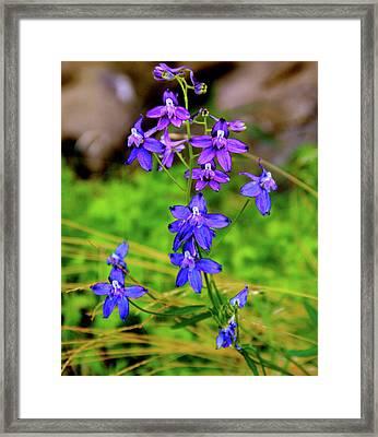 Wildflower Larkspur Framed Print