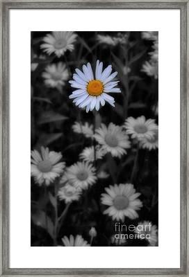 Wildflower - Ox Eye Daisy Framed Print