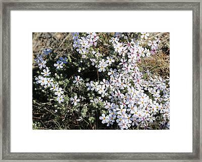 Wildflower Phlox Framed Print by Carol Groenen
