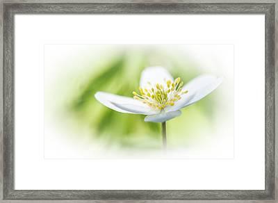 Wildflower Wood Anemone Framed Print by Dirk Ercken
