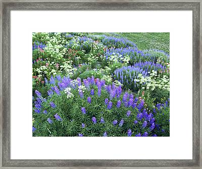 Wildflowers, Blue-pod Lupine, Lupinus Framed Print by Howie Garber
