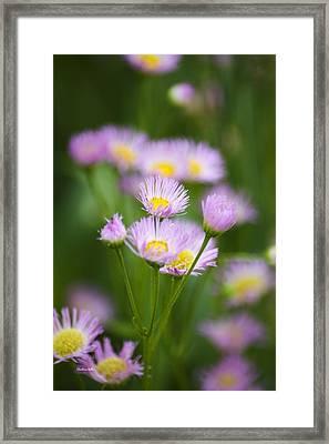 Wildflowers - Common Fleabane Framed Print by Christina Rollo
