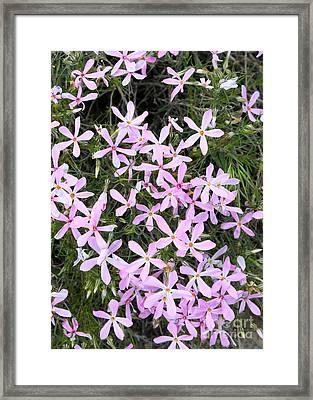 Wildflowers - Long-leaf Phlox Framed Print by Carol Groenen