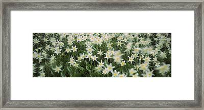 Wildflowers On Mountains, Mt Rainier Framed Print by Panoramic Images
