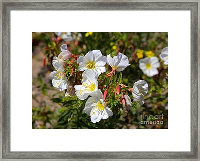 Wildflowers - Pale Evening Primrose Framed Print