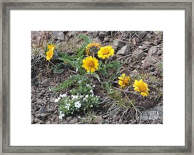 Wildflowers - Rosy Balsamroot With Cushion Phlox Framed Print by Carol Groenen
