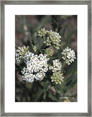 Wildflowers - White Yarrow Framed Print by Carol Groenen