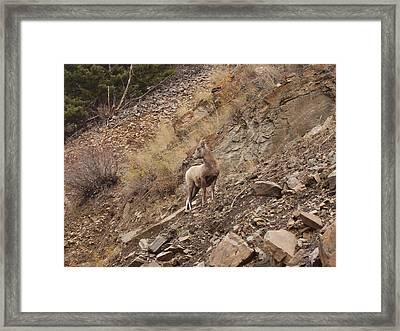 Wildlife Of Montana Framed Print by Yvette Pichette