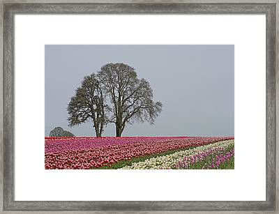 Willamette Valley Tulips Framed Print