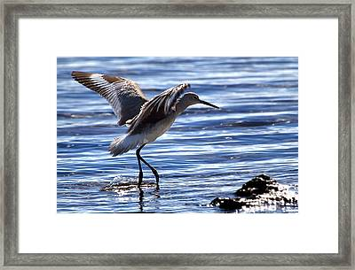 Willet Coming In To Land At Boca Chica Florida Keys Framed Print by Mr Bennett Kent