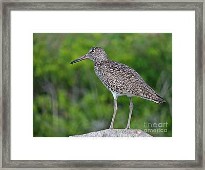 Willet Shorebird Framed Print