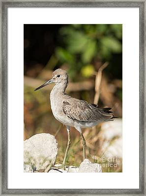 Willet Walking Near The Water Framed Print by Natural Focal Point Photography