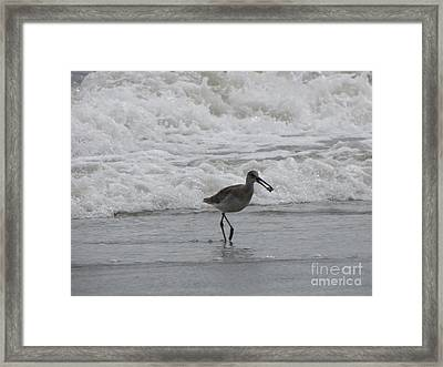 Willet With A Catch Framed Print by Gayle Melges