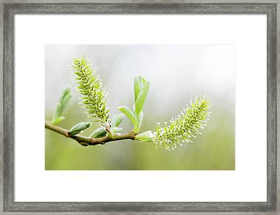 Willow Catkins (salix Sp.) Framed Print by Gustoimages/science Photo Library