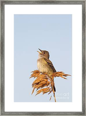 Willow Flycatcher Framed Print by Jim Zipp