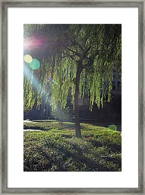Willow Magic Framed Print by Suzanne Gaff