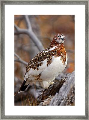 Willow Ptarmigan Framed Print