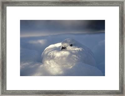 Willow Ptarmigan Camouflaged Alaska Framed Print by Michael Quinton
