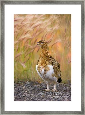 Willow Ptarmigan Yukon Framed Print by Yva Momatiuk John Eastcott