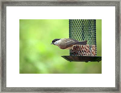 Willow Tit On A Bird Feeder Framed Print by Simon Booth
