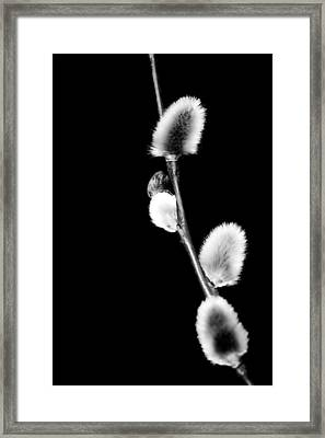 Willow  Framed Print by Tommytechno Sweden