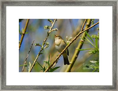 Willow Warbler Singing In Spring Framed Print by John Kelly