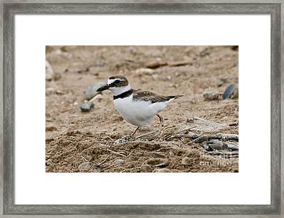 Wilsons Plover At Nest Framed Print