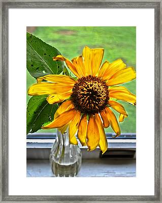 Wilting Sunflower In Window Framed Print