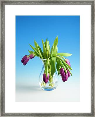 Wilting Tulips Framed Print by Science Photo Library