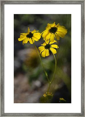 Wind Blown Daisies Framed Print by Alfredo Martinez