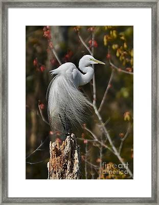Wind In His Feathers Framed Print by Kathy Baccari