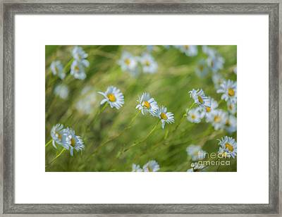 Wind In The Daisies Framed Print by Diane Diederich